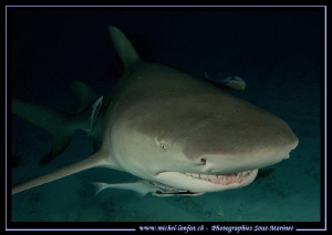 Lemon shark Tiger Beach... by Michel Lonfat 